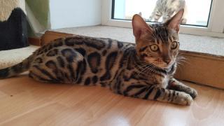 Эксклюзивные бенгальские котята Запорожье